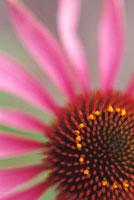 花(エキナセア) 20026002342| 写真素材・ストックフォト・画像・イラスト素材|アマナイメージズ