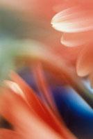 ガーベラのアップ 20026002366| 写真素材・ストックフォト・画像・イラスト素材|アマナイメージズ