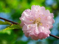 桜 20026002432| 写真素材・ストックフォト・画像・イラスト素材|アマナイメージズ