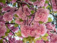花(サワーチェリー)