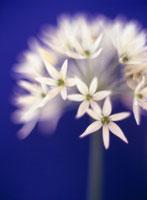 花(ワイルドガーリック)