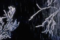 雪が積もった小枝