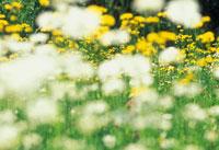花(フランス菊)