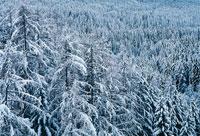 雪が積もった松の森
