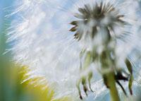 タンポポのアップ 20026002524| 写真素材・ストックフォト・画像・イラスト素材|アマナイメージズ