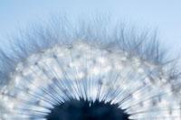 タンポポの冠毛 20026002526| 写真素材・ストックフォト・画像・イラスト素材|アマナイメージズ