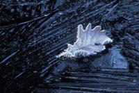霜がついた植物(コナラ)の葉 20026002567| 写真素材・ストックフォト・画像・イラスト素材|アマナイメージズ
