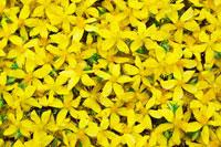 花(セントジョンズワート) 20026002570| 写真素材・ストックフォト・画像・イラスト素材|アマナイメージズ