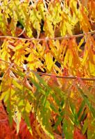 櫨の木 20026002589| 写真素材・ストックフォト・画像・イラスト素材|アマナイメージズ