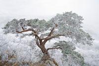 雪が積もった松