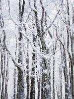 雪が積もった樹木