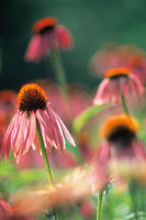花(エキナセア) 20026002612  写真素材・ストックフォト・画像・イラスト素材 アマナイメージズ