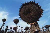 枯れたひまわり 20026002614| 写真素材・ストックフォト・画像・イラスト素材|アマナイメージズ