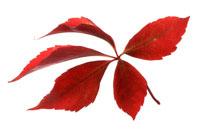 アメリカヅタの葉