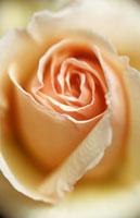 バラのアップ 20026002782| 写真素材・ストックフォト・画像・イラスト素材|アマナイメージズ