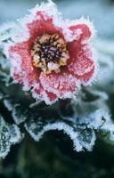 霜がついた花(ミツバツチグリ)