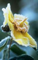 霜がついた花(キンシバイ)