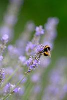 ラベンダー(ヒドコート)と蜂