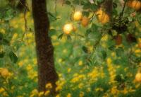 レモン 20026002838| 写真素材・ストックフォト・画像・イラスト素材|アマナイメージズ