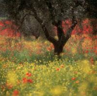 オリーブの木 20026002839| 写真素材・ストックフォト・画像・イラスト素材|アマナイメージズ
