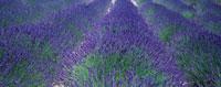 ラベンダー 20026002841| 写真素材・ストックフォト・画像・イラスト素材|アマナイメージズ