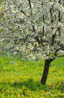 桜 20026002864| 写真素材・ストックフォト・画像・イラスト素材|アマナイメージズ