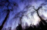 しだれ柳 20026002889| 写真素材・ストックフォト・画像・イラスト素材|アマナイメージズ
