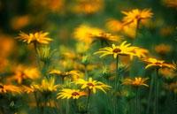花(大反魂草) 20026002890| 写真素材・ストックフォト・画像・イラスト素材|アマナイメージズ