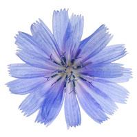 花(チコリ)