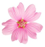 花(花葵) 20026002922  写真素材・ストックフォト・画像・イラスト素材 アマナイメージズ