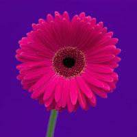 ガーベラ 20026002925  写真素材・ストックフォト・画像・イラスト素材 アマナイメージズ