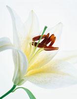 ユリ 20026002960| 写真素材・ストックフォト・画像・イラスト素材|アマナイメージズ