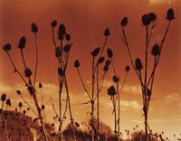 植物(ラシャカキグサ) 20026002986| 写真素材・ストックフォト・画像・イラスト素材|アマナイメージズ