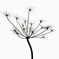 植物(シャク)