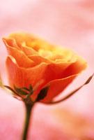 バラ 20026003062| 写真素材・ストックフォト・画像・イラスト素材|アマナイメージズ