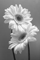 ガーベラ 20026003067  写真素材・ストックフォト・画像・イラスト素材 アマナイメージズ