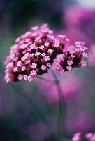 花(バーベナ) 20026003086| 写真素材・ストックフォト・画像・イラスト素材|アマナイメージズ