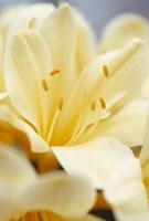 花(クンシラン)のアップ