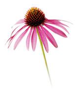 花(エキナセア) 20026003127| 写真素材・ストックフォト・画像・イラスト素材|アマナイメージズ