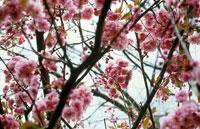 桜(天の川)