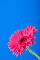 ガーベラ 20026003183  写真素材・ストックフォト・画像・イラスト素材 アマナイメージズ
