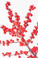 植物(モチノキ)