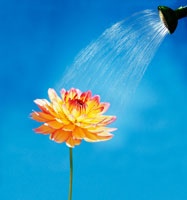 水をかけられるダリア 20026003223| 写真素材・ストックフォト・画像・イラスト素材|アマナイメージズ