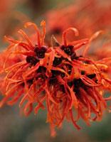 植物(マンサクとシナマンサクの交雑種・ジェレナ)