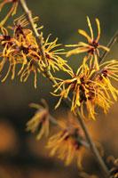 植物(マンサクとシナマンサクの交雑種)