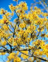 植物(マンサクとシナマンサクの交雑種・パリダ)