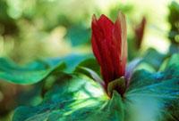 植物(エンレイソウ) 20026003332| 写真素材・ストックフォト・画像・イラスト素材|アマナイメージズ