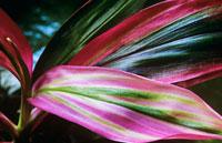 植物(センネンボク) 20026003360| 写真素材・ストックフォト・画像・イラスト素材|アマナイメージズ