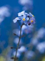 花(ノハラワスレナグサ)