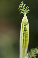 植物(ウイキョウ)